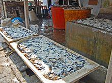 pengeringan-ikan