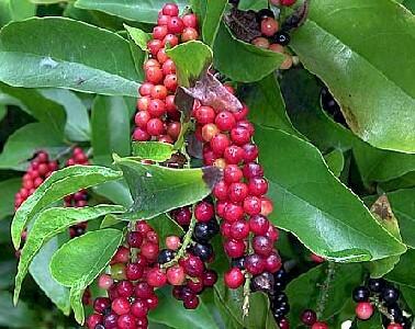 buah segar bahan pembuat sari buah