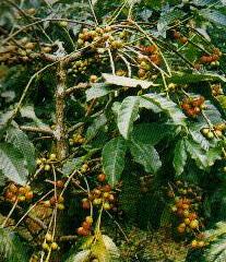 kopi-arabica-papua
