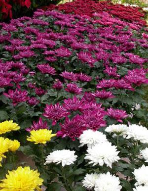 bunga potong krisan