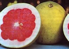 jeruk-bali