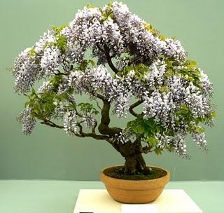 bisnis-bonsai -cantik