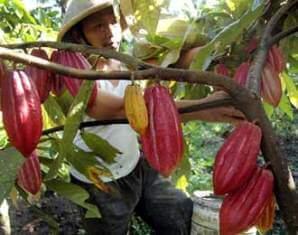 potensi kakao