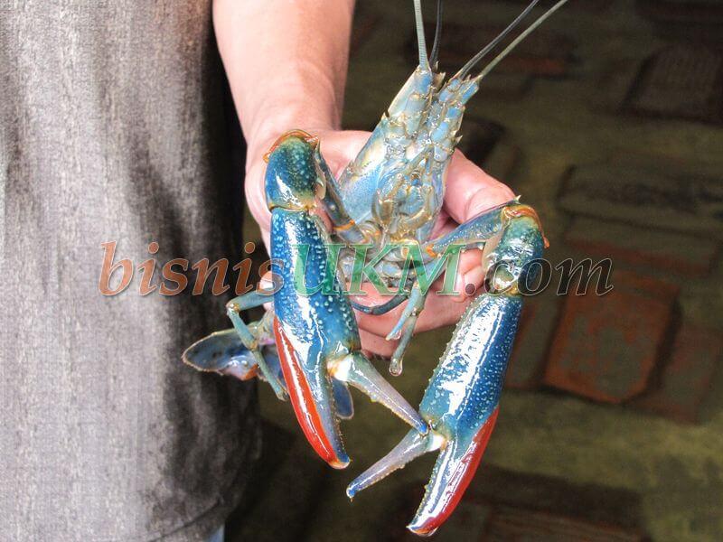 Menekuni Usaha Lobster Air Tawar
