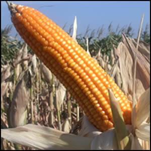 potensi bisnis olahan jagung