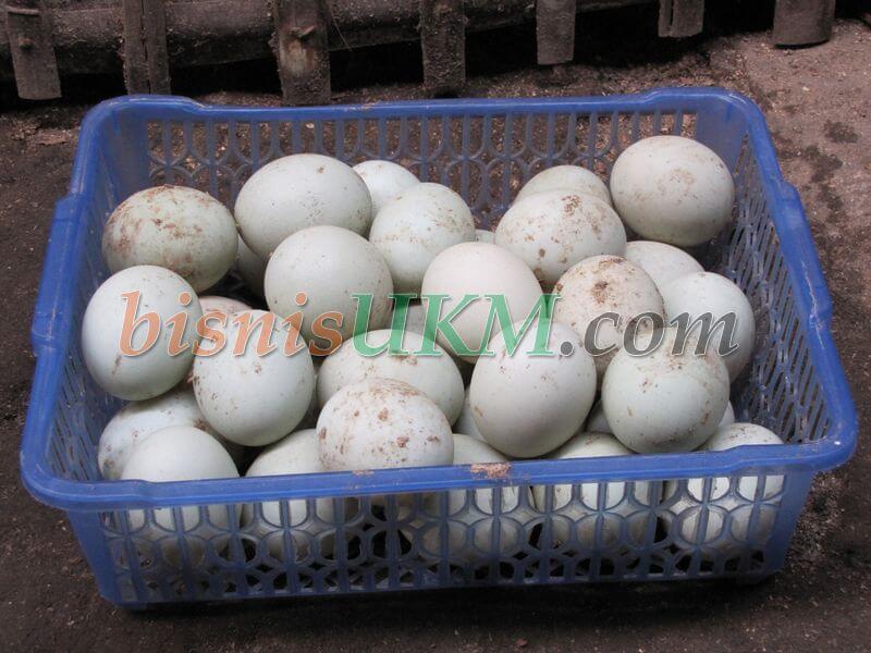 Peluang Bisnis Telur Bebek