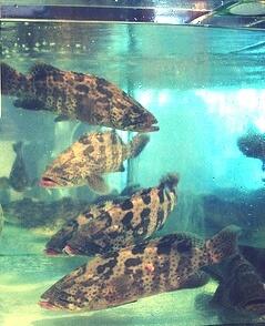 Usaha Budidaya Ikan Kerapu Kini Semakin Laku