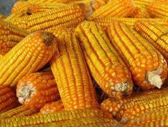 benih jagung