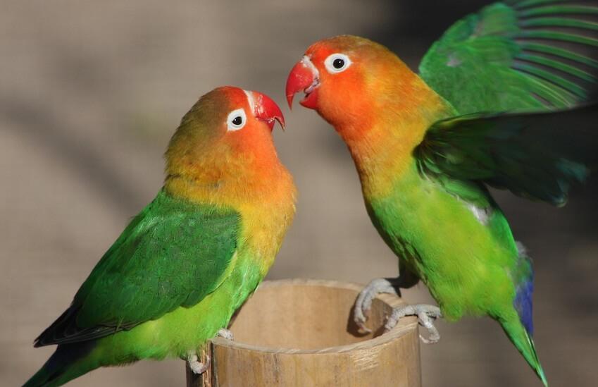 Citaten Love Bird : Bisnis plan ternak burung lovebird