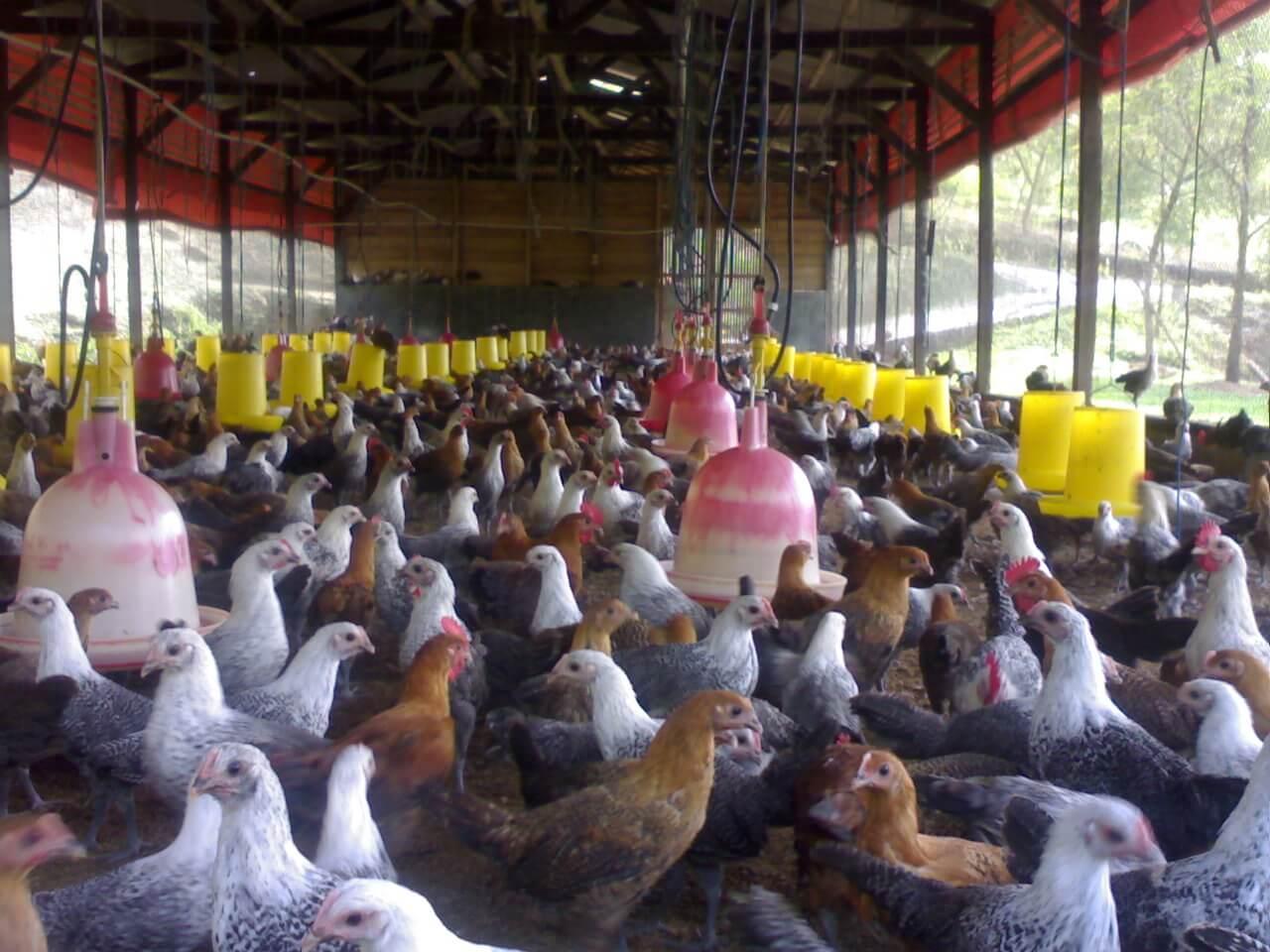 Peluang Bisnis Sampingan Beternak Ayam Kampung