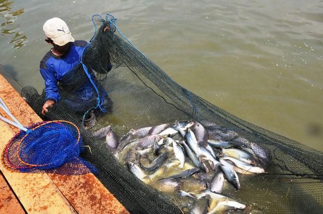 Peluang Usaha Pembenihan Ikan Patin