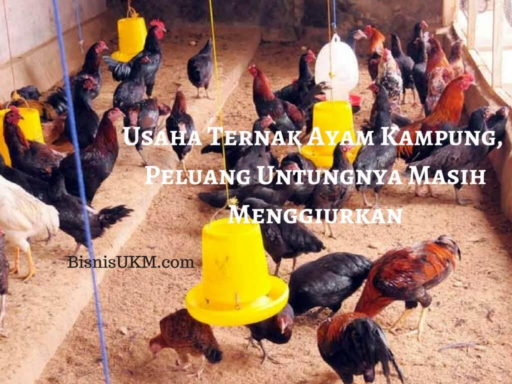 Usaha Ternak Ayam Kampung Peluang Untungnya Masih Menggiurkan