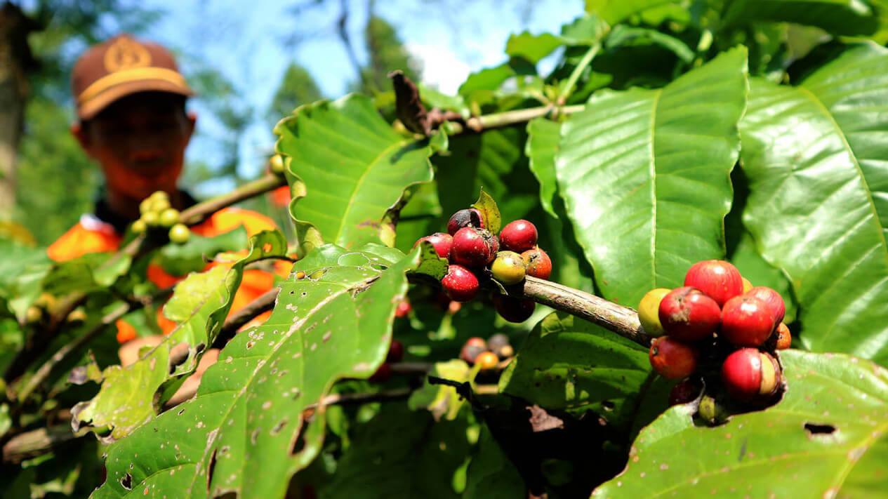 petani-kopi-lampung