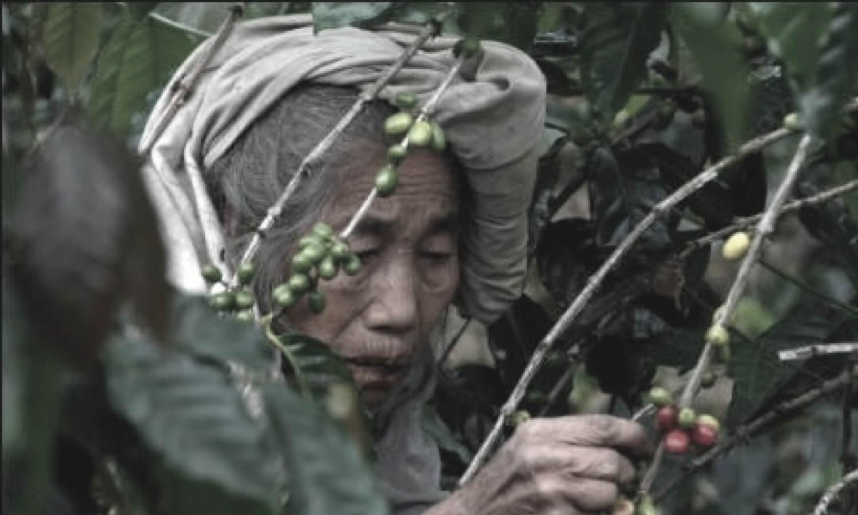 ternyata-leluhur-nya-kopi-indonesia-masih-eksis-sampai-sekarang-lho