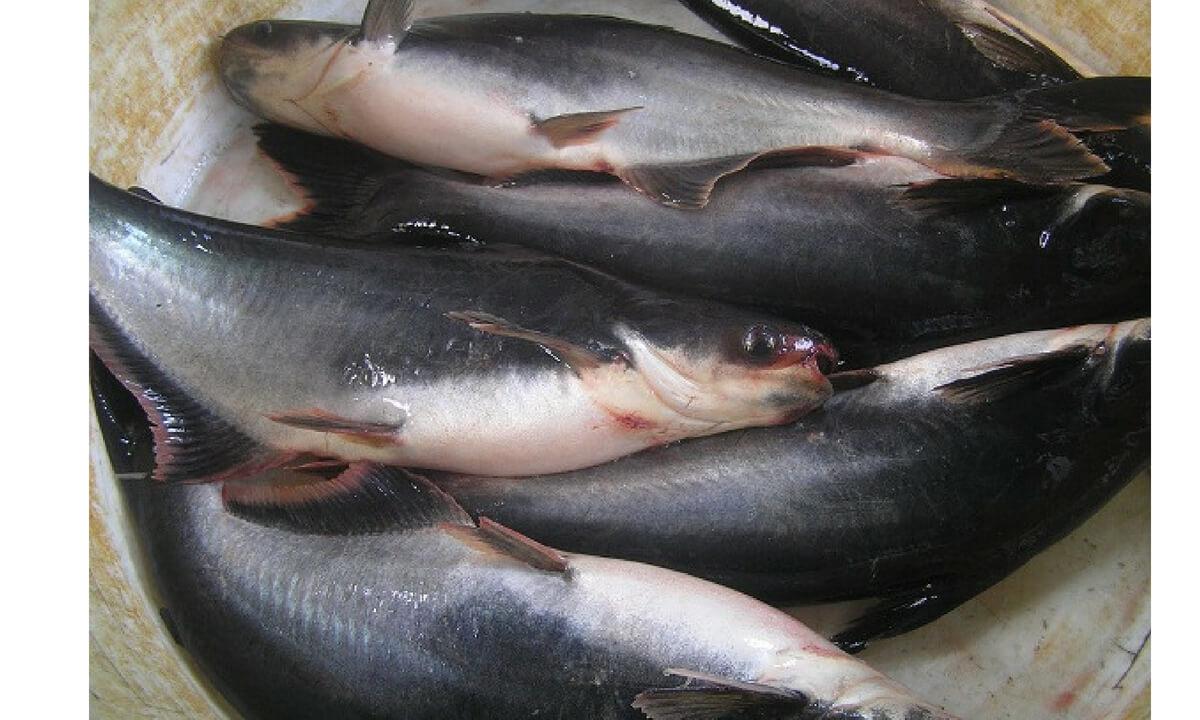 Peluang Bisnis Budidaya Ikan Patin Untung 30 Jt Sekali Panen