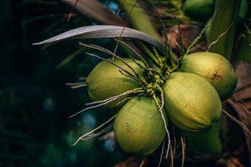 buah-kelapa-untuk-keripik