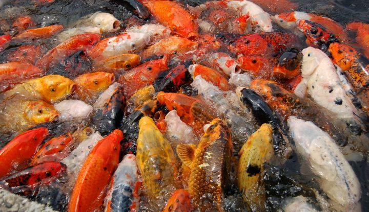 yuk-simak-bagaimana-budidaya-ikan-air-tawar-yang-tepat