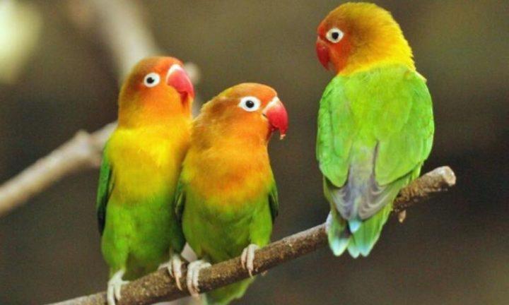 mengulik-bisnis-rumahan-untung-besar-dari-hobi-ternak-lovebird