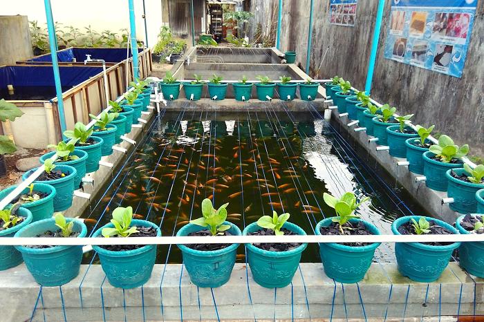 Budidaya Aquaponik Ide Bisnis Rumahan Two In One