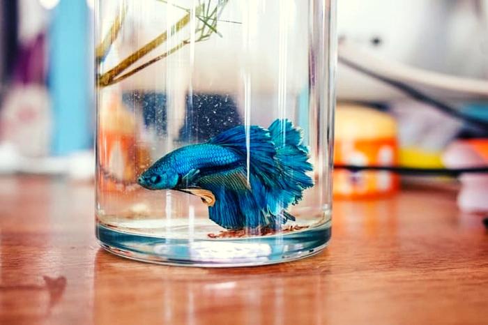 Pakan Ikan Cupang