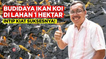 Awalnya 3 Kolam, Sekarang Sukses Bisnis Ikan Koi Di Lahan 1 Hektar!