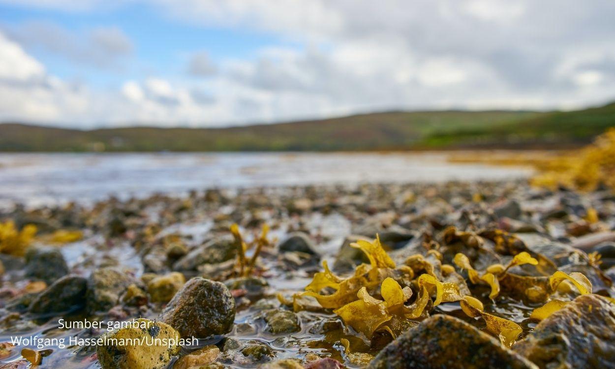 Bisnis Rumput Laut Meningkat, Prospek Cerah Bagi UMKM