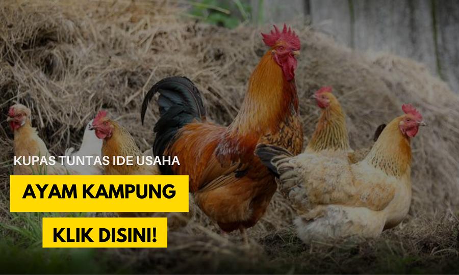 panduan bisnis ayam kampung