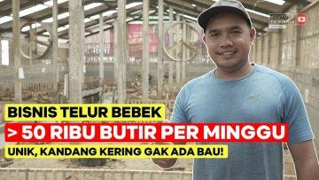 bisnis-telur-bebek-50rb-butir-per-minggu-unik-kandang-kering-tanpa-bau
